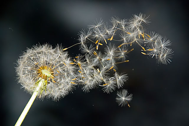 High Speed Photograpy Gallery - Dandelion